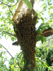 good swarm + frames in tree
